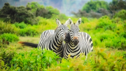 a zebra standing on top of a grass covered field